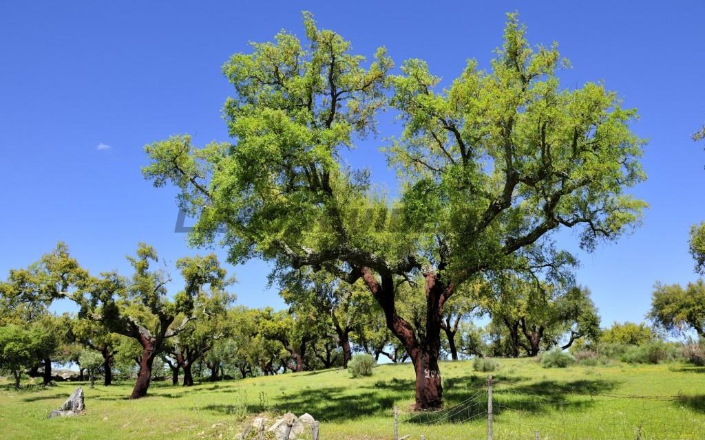 cork-tree-portugal