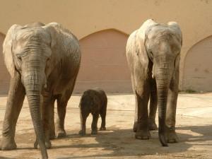 Lisbon_Zoo_Elephant