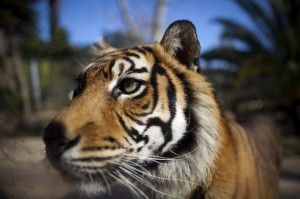 Lisbon_Zoo_Tiger