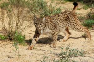 Lynx_Lisbon_Zoo