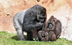 Lisbon_Zoo_Gorila