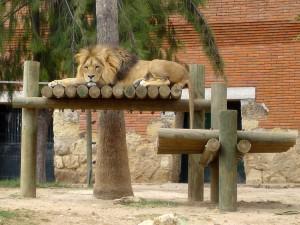 Lisbon_Zoo_Lion